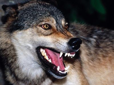 s-Snarling-Wolf.jpg